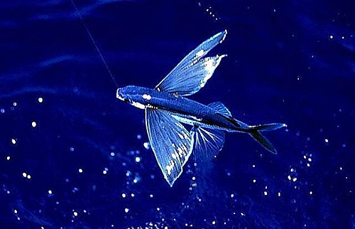 lietajuca ryba 2